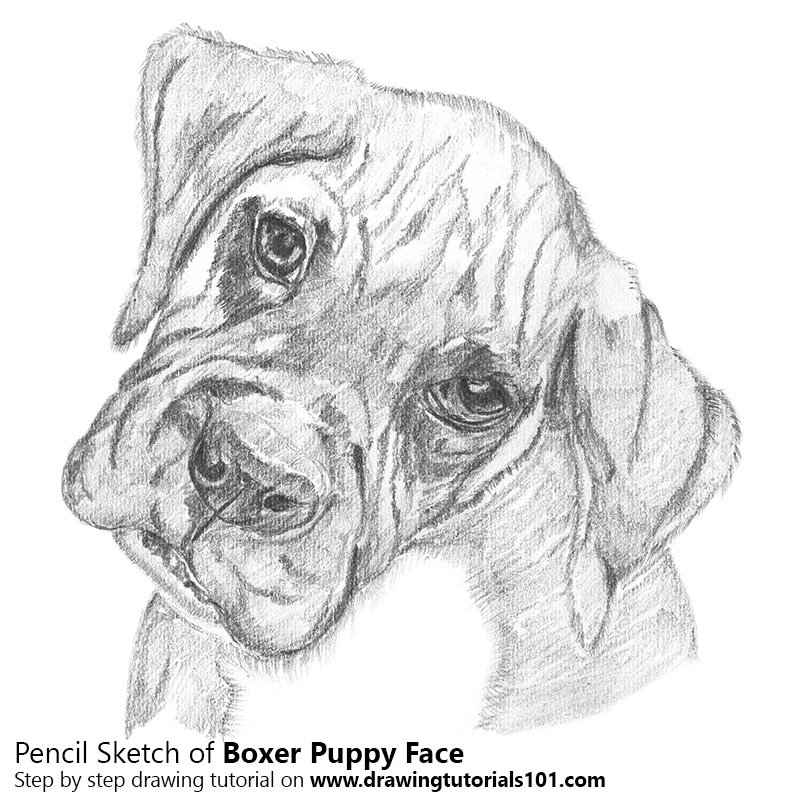 Pencil Sketch of Boxer Puppy Face - Pencil Drawing