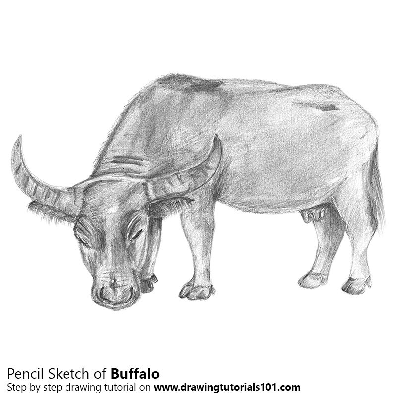 Pencil Sketch of Buffalo - Pencil Drawing