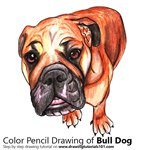 How to Draw a Bull Dog