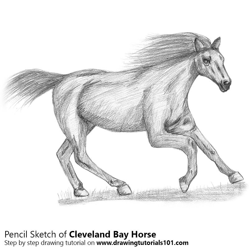 Pencil Sketch of Cleveland Bay Horse - Pencil Drawing
