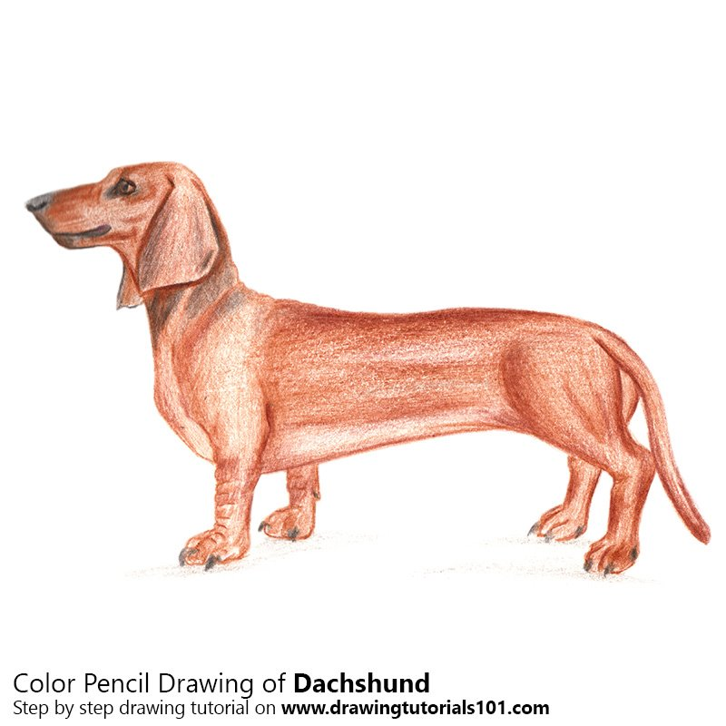 Dachshund Color Pencil Drawing