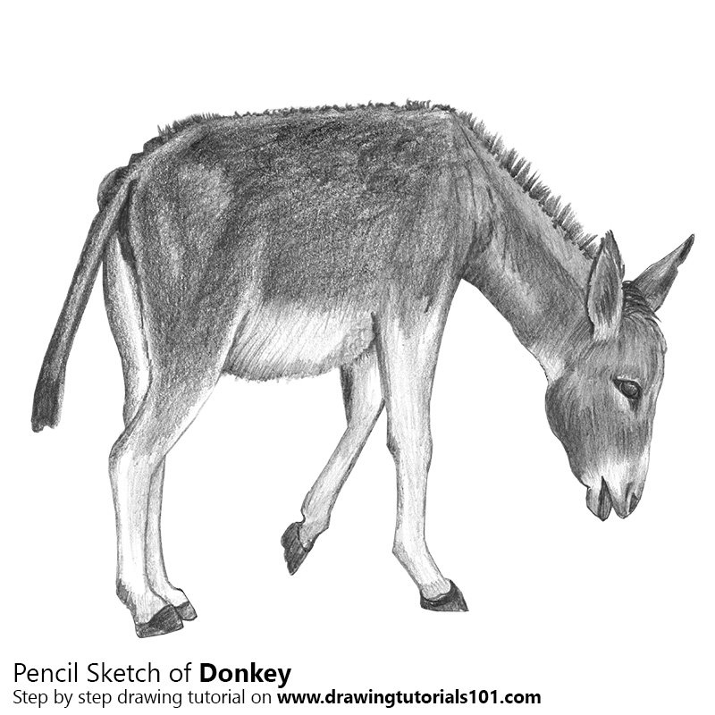 Pencil Sketch of Donkey - Pencil Drawing