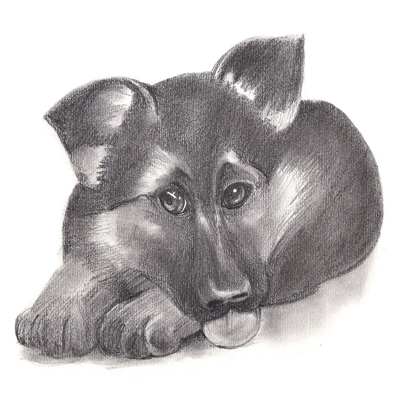 Pencil Sketch of German Shepherd Puppy - Pencil Drawing
