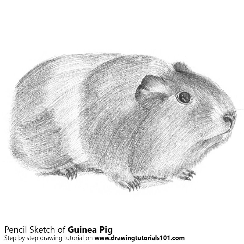 Pencil Sketch of Guinea Pig - Pencil Drawing