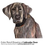 How to Draw a Labrador Face