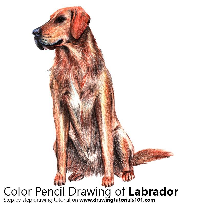 Labrador Color Pencil Drawing