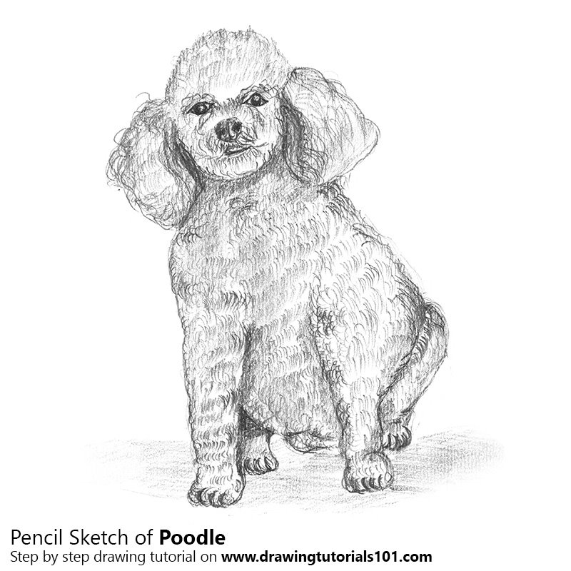 Pencil Sketch of Poodle Dog - Pencil Drawing