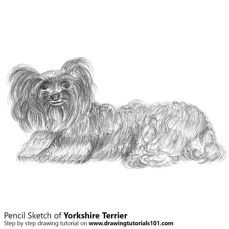 Pencil Sketch of Yorkshire Terrier - Pencil Drawing