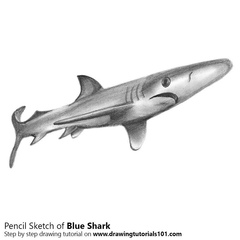 Pencil Sketch of Blue Shark - Pencil Drawing