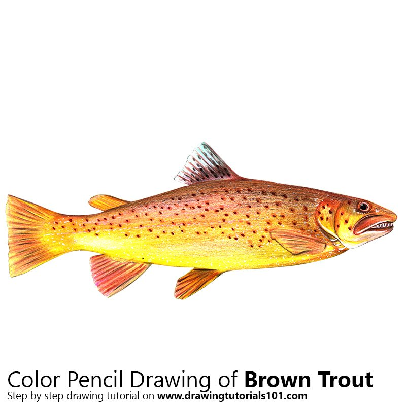 Brown Trout Color Pencil Drawing