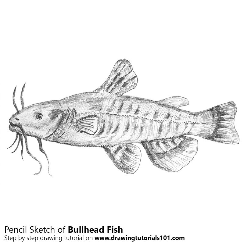 Pencil Sketch of Bullhead Fish - Pencil Drawing