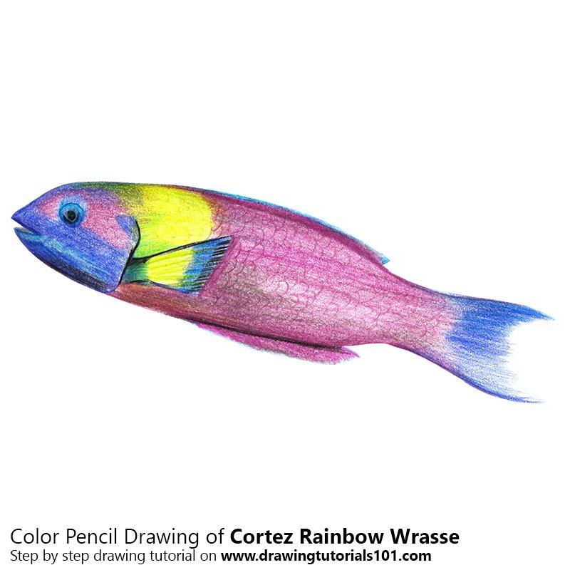 Cortez Rainbow Wrasse Color Pencil Drawing