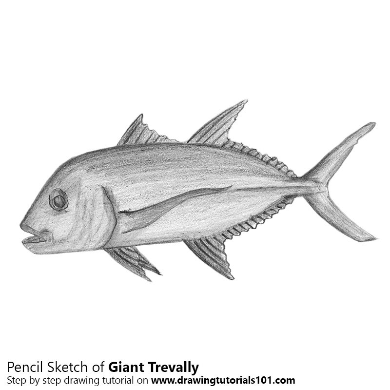 Pencil Sketch of Giant Trevally - Pencil Drawing