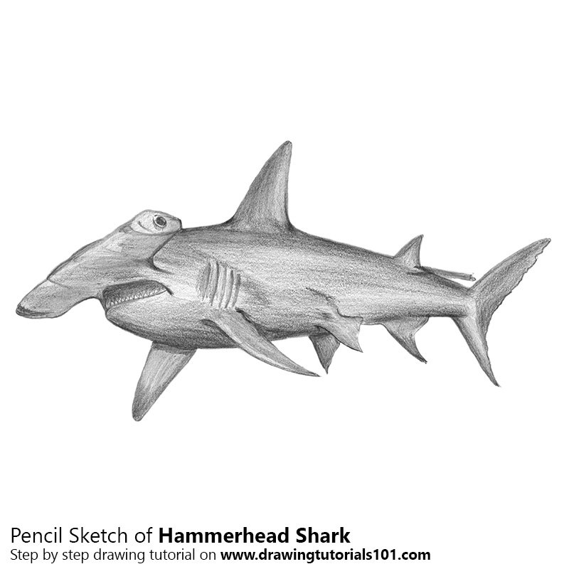 Pencil Sketch of Hammerhead Shark - Pencil Drawing