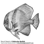 How to Draw an Orbicular Batfish