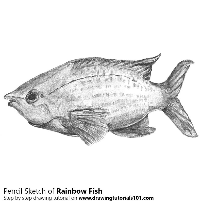 Pencil Sketch of Rainbow Fish - Pencil Drawing