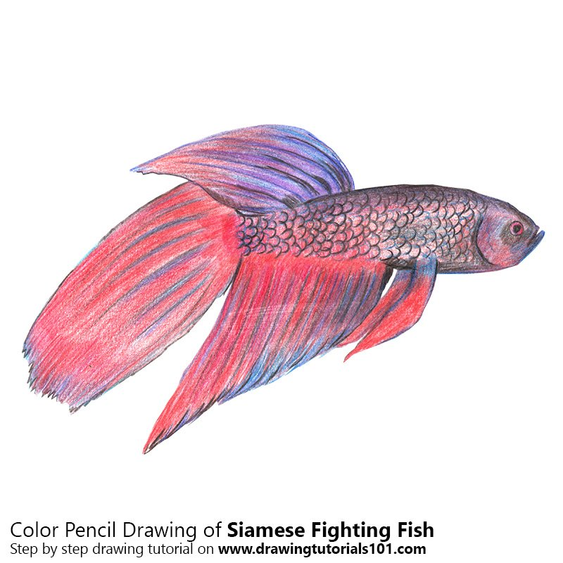 Siamese Fighting Fish Color Pencil Drawing