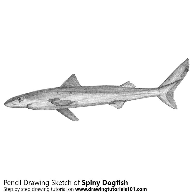 Pencil Sketch of Spiny Dogfish - Pencil Drawing
