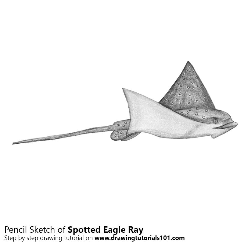 Pencil Sketch of Spotted Eagle Ray - Pencil Drawing