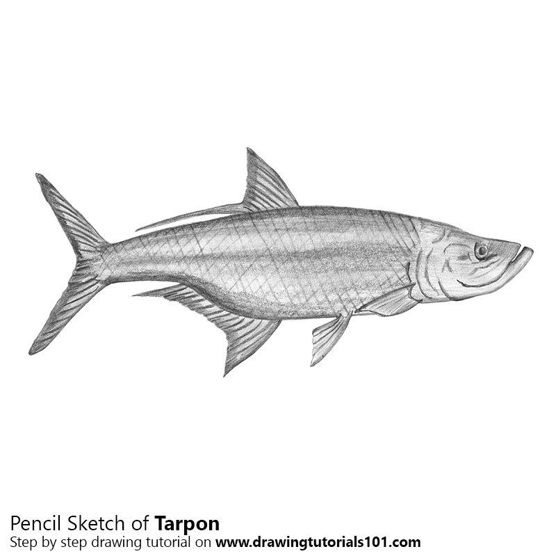 Pencil Sketch of Tarpon - Pencil Drawing