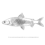 How to Draw a Whitefish