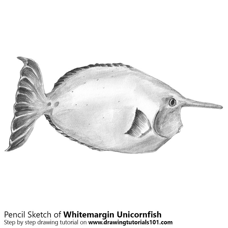 Pencil Sketch of Whitemargin Unicornfish - Pencil Drawing