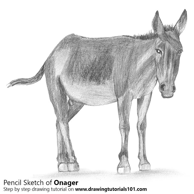Pencil Sketch of Onager - Pencil Drawing