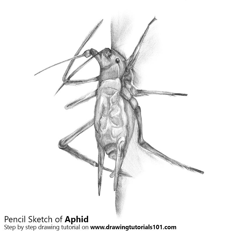 Pencil Sketch of Aphid - Pencil Drawing