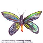 How to Draw a Birdwing Butterfly