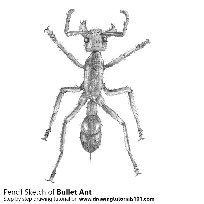 Pencil Sketch of Bullet Ant - Pencil Drawing