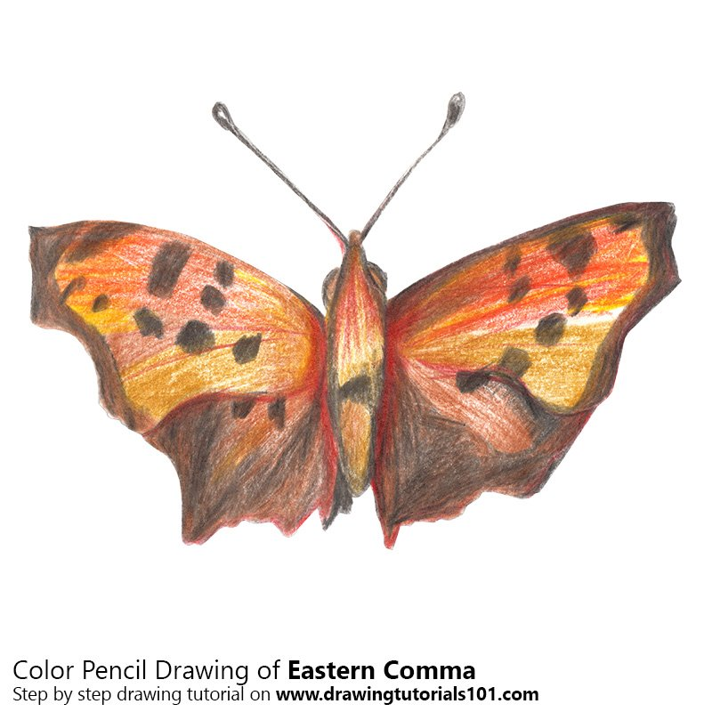 Eastern Comma Color Pencil Drawing