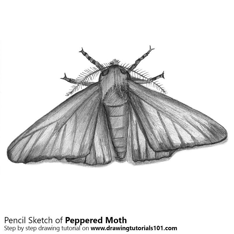 Pencil Sketch of Peppered Moth - Pencil Drawing
