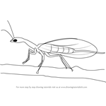How to Draw a Snakefly