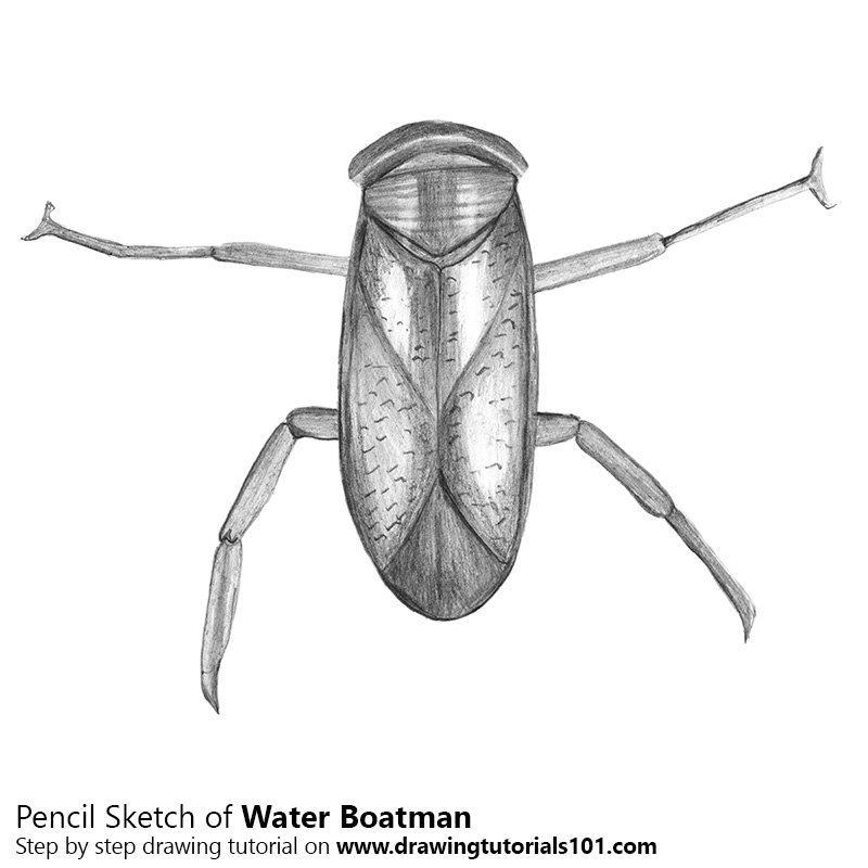 Pencil Sketch of Water Boatman - Pencil Drawing