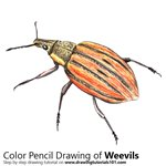 How to Draw a Weevil