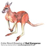 How to Draw a Red Kangaroo
