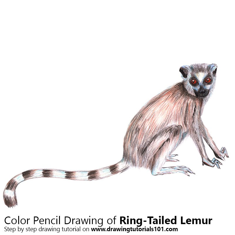 Ring-Tailed Lemur Color Pencil Drawing