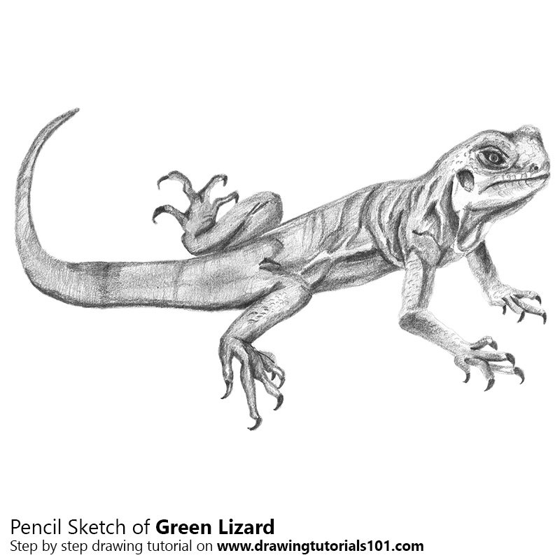 Pencil Sketch of Green Lizard - Pencil Drawing