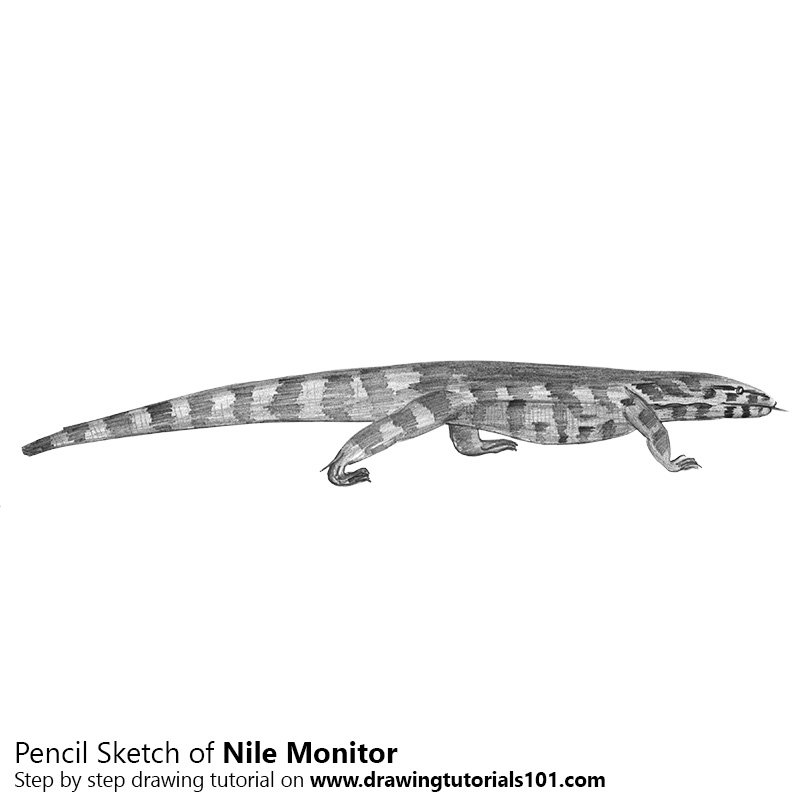 Pencil Sketch of Nile Monitor - Pencil Drawing