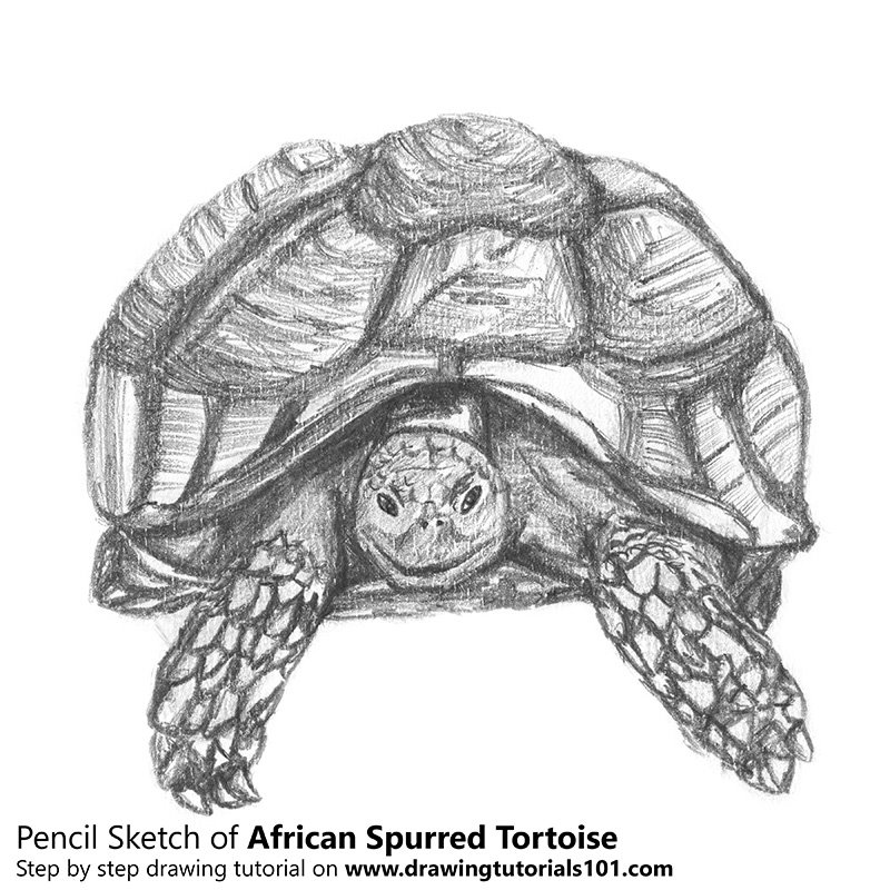 Pencil Sketch of African Spurred Tortoise - Pencil Drawing