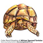 How to Draw an African Spurred Tortoise