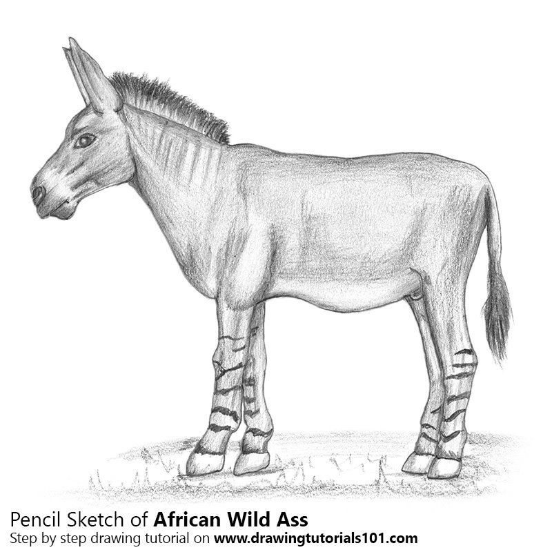 Pencil Sketch of African Wild Ass - Pencil Drawing