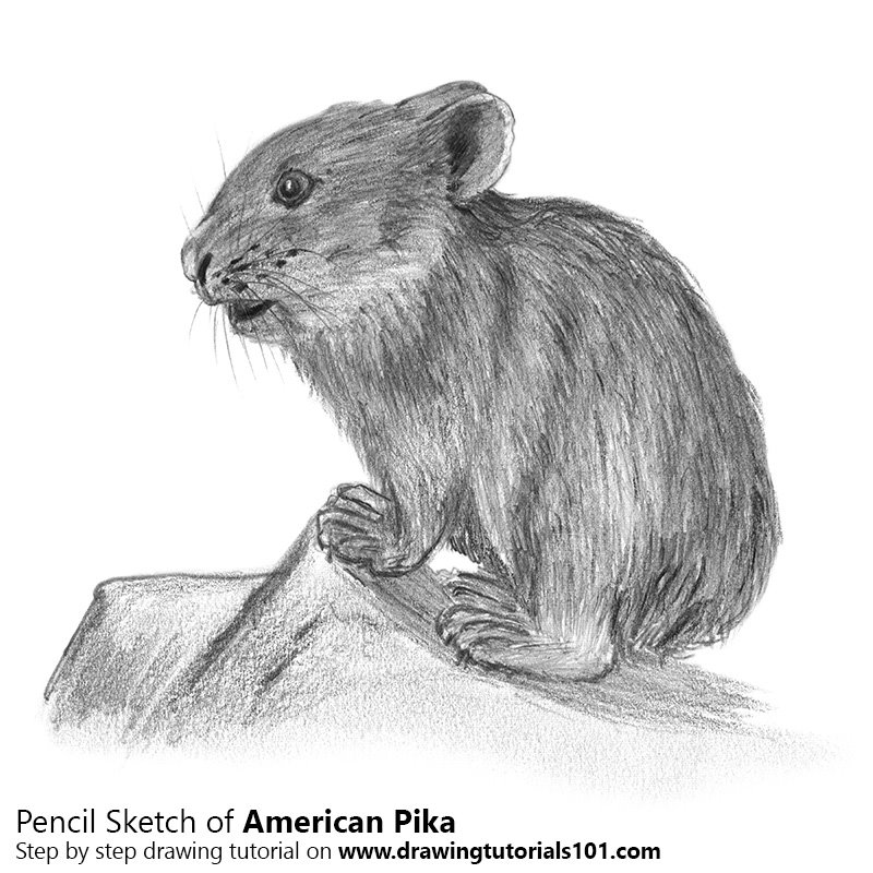Pencil Sketch of American pika - Pencil Drawing