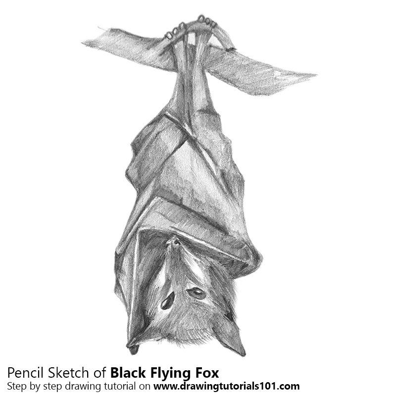Pencil Sketch of Black Flying Fox - Pencil Drawing