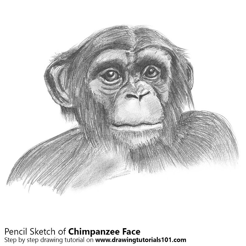 Pencil Sketch of Chimpanzee Face - Pencil Drawing