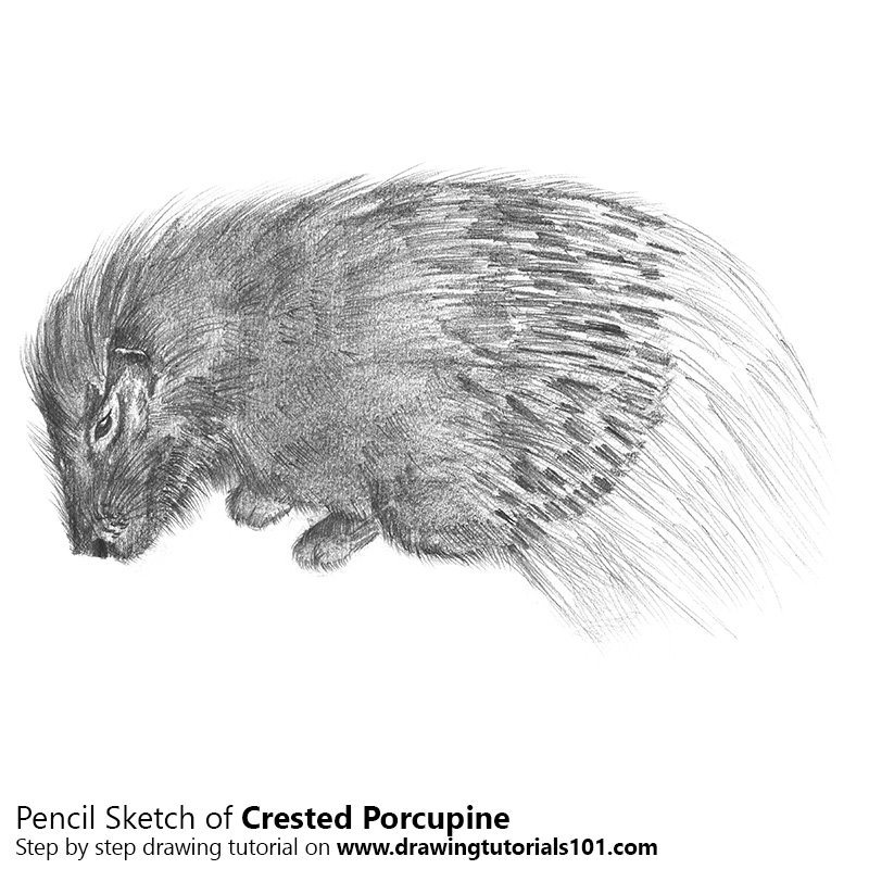 Pencil Sketch of Crested Porcupine - Pencil Drawing