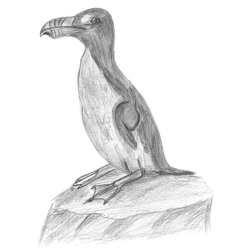 Pencil Sketch of Great Auk - Pencil Drawing