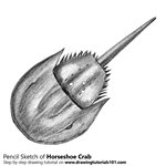 How to Draw a Horseshoe Crab