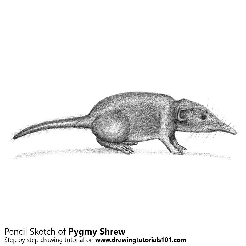 Pencil Sketch of Pygmy Shrew - Pencil Drawing