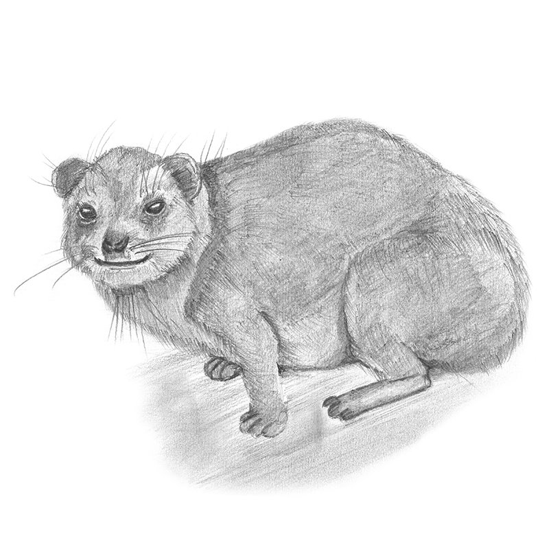 Pencil Sketch of Rock Hyrax - Pencil Drawing